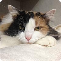 Adopt A Pet :: Angelica - Cashiers, NC