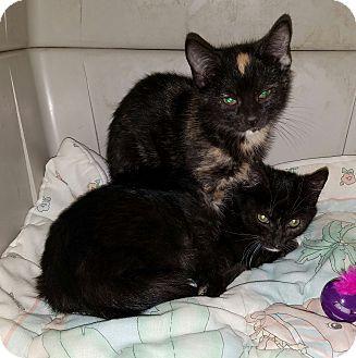 Domestic Shorthair Kitten for adoption in Neffs, Pennsylvania - Afina