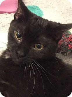 Domestic Mediumhair Kitten for adoption in Frankfort, Illinois - Sami - Adoption Pending