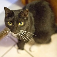 Domestic Shorthair Cat for adoption in Queens, New York - Jaqueline