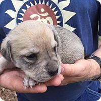 Adopt A Pet :: Puppy Sugar - Alabaster, AL