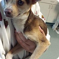 Adopt A Pet :: Barley - Westminster, CA