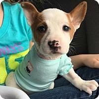 Adopt A Pet :: Olivia II - Dallas, TX