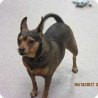 Adopt A Pet :: Bella - Columbia, MD