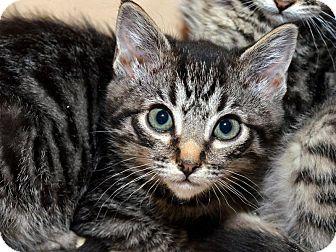 American Shorthair Kitten for adoption in Brooklyn, New York - Vanya