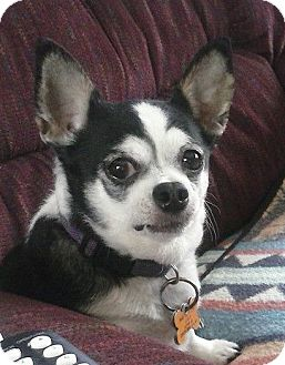 Chihuahua Dog for adoption in Monterey, Virginia - Tia