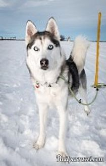 Siberian Husky Mix Dog for adoption in High River, Alberta - Naomi