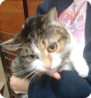 Domestic Shorthair Cat for adoption in Morganton, North Carolina - Honey