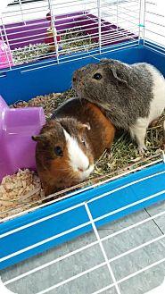 Guinea Pig for adoption in La Grange Park, Illinois - Cocoa