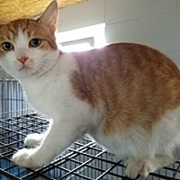 Domestic Shorthair Cat for adoption in Sistersville, West Virginia - Colby