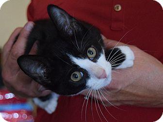 Domestic Shorthair Kitten for adoption in Surrey, British Columbia - Goofy