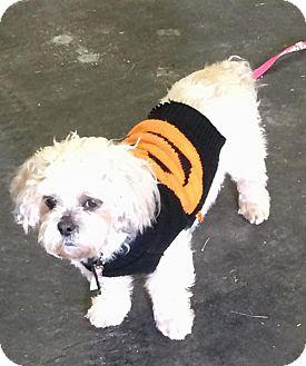 Shih Tzu Dog for adoption in Homer Glen, Illinois - Isabella(2)