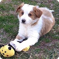 Adopt A Pet :: Cinnamon - Bedford, VA