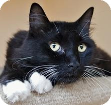 Domestic Longhair Cat for adoption in Medford, Massachusetts - Hoover
