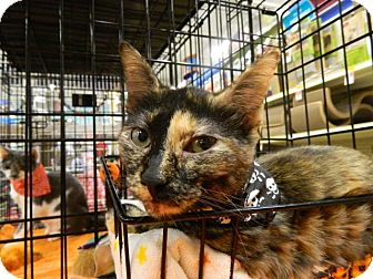 Domestic Shorthair Cat for adoption in The Colony, Texas - Dixie