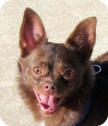 Chihuahua Mix Dog for adoption in Dallas, Texas - Will