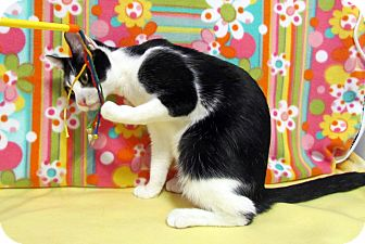 Domestic Shorthair Cat for adoption in Orlando, Florida - Juneaux