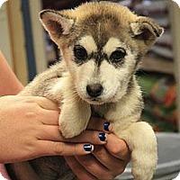Adopt A Pet :: Gwen (PENDING!) - Chicago, IL