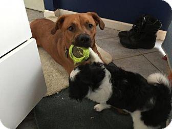 German Shepherd Dog/Golden Retriever Mix Dog for adoption in Newfield, New Jersey - Sire