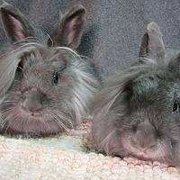 Lionhead Mix for adoption in Newport, Delaware - Jaye & Skye