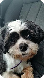 Shih Tzu Mix Dog for adoption in Elyria, Ohio - Hot Sauce