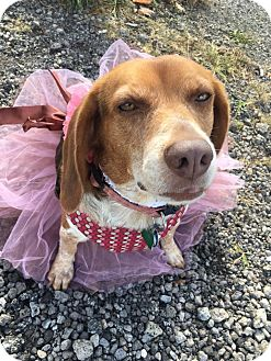 Beagle Dog for adoption in Youngstown, Ohio - Hope ~ Adoption Pending