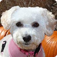 Adopt A Pet :: Angelina - La Costa, CA