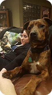 American Pit Bull Terrier/Australian Cattle Dog Mix Dog for adoption in Janesville, Wisconsin - Dallas