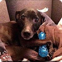 Adopt A Pet :: Rudy - Blackstock, ON