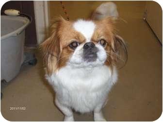 Japanese Chin Dog for adoption in Orlando, Florida - Cody