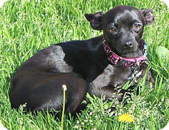 Chihuahua/Italian Greyhound Mix Dog for adoption in Temecula, California - Isa
