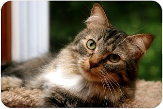 Domestic Mediumhair Cat for adoption in Sterling Heights, Michigan - Gabriel-ADOPTE1D