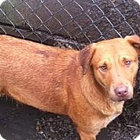 Labrador Retriever Mix Dog for adoption in Baton Rouge, Louisiana - Sandy