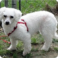Bichon Frise Mix Dog for adoption in Homer, New York - Merry