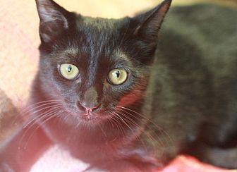 Domestic Shorthair Cat for adoption in Canoga Park, California - Jetta