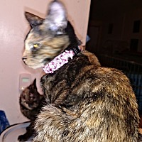 Domestic Shorthair Cat for adoption in Sidney, Maine - Andrea