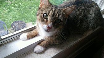 Domestic Shorthair Cat for adoption in Toledo, Ohio - Paige Lynn