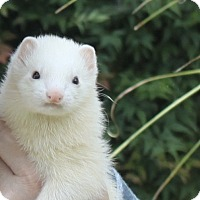 Adopt A Pet :: Blanca - Chantilly, VA