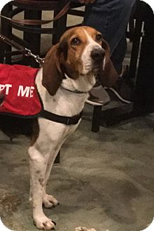 Hound (Unknown Type) Mix Dog for adoption in Virginia Beach, Virginia - Alana