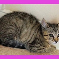 Domestic Shorthair Cat for adoption in Euless, Texas - June Bug