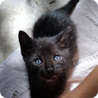 Domestic Shorthair Kitten for adoption in Austin, Texas - Phantom