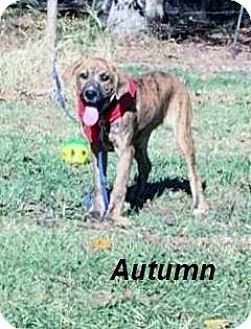 Boxer Mix Puppy for adoption in Manchester, Connecticut - Autumn 1 in CT