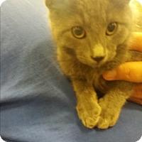 Adopt A Pet :: Farmer Smurf - Lancaster, CA