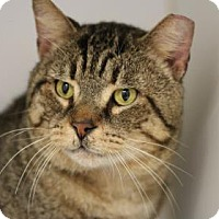 Adopt A Pet :: Tiger - Reisterstown, MD