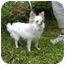 Photo 1 - Chihuahua Dog for adoption in Raymond, New Hampshire - Sprocket