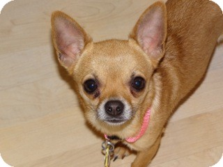 Chihuahua Dog for adoption in Shawnee Mission, Kansas - Shirley