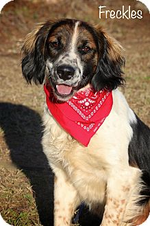 Brittany/Cavalier King Charles Spaniel Mix Dog for adoption in Albany, New York - Freckles