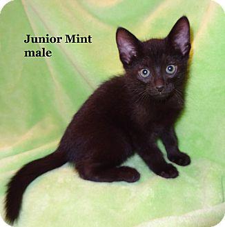 Domestic Shorthair Kitten for adoption in Bentonville, Arkansas - Junior Mint