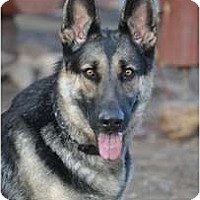 Adopt A Pet :: Tige - Hamilton, MT