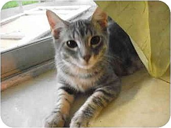 Domestic Shorthair Cat for adoption in Garland, Texas - Dini